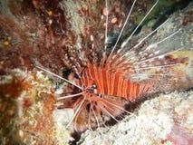 Υποβρύχια ωκεάνια θάλασσα Ταϊλάνδη κοραλλιογενών υφάλων δυτών σκαφάνδρων Lionfish Στοκ εικόνα με δικαίωμα ελεύθερης χρήσης