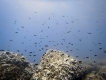 Υποβρύχιοι σκόπελος πυθμένων της θάλασσας και σχολείο των ψαριών στοκ εικόνα με δικαίωμα ελεύθερης χρήσης
