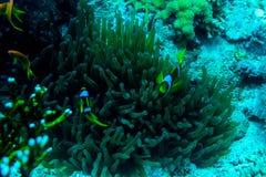Υποβρύχιος κήπος κοραλλιών με το anemone και ένα ζευγάρι του κίτρινου clownfish Στοκ Εικόνα