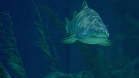 Υποβρύχιος κόσμος, κολύμβηση καρχαριών υποβρύχια αρπακτικά ζώα κινηματογραφήσεων σε πρώτο πλάνο στοκ εικόνα