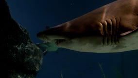 Υποβρύχιος κόσμος, κολύμβηση καρχαριών υποβρύχια αρπακτικά ζώα κινηματογραφήσεων σε πρώτο πλάνο στοκ εικόνες με δικαίωμα ελεύθερης χρήσης
