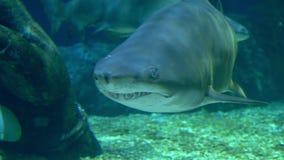 Υποβρύχιος κόσμος, κολύμβηση καρχαριών υποβρύχια αρπακτικά ζώα κινηματογραφήσεων σε πρώτο πλάνο στοκ φωτογραφία με δικαίωμα ελεύθερης χρήσης