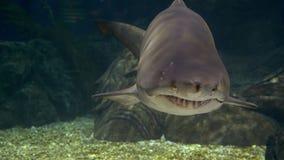 Υποβρύχιος κόσμος, κολύμβηση καρχαριών υποβρύχια αρπακτικά ζώα κινηματογραφήσεων σε πρώτο πλάνο στοκ εικόνα με δικαίωμα ελεύθερης χρήσης