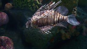 Υποβρύχιος κόσμος, πολλά ζωηρόχρωμα ψάρια, κοραλλιογενείς ύφαλοι Lionfish στοκ εικόνες με δικαίωμα ελεύθερης χρήσης