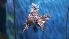 Υποβρύχιος κόσμος, πολλά ζωηρόχρωμα ψάρια, κοραλλιογενείς ύφαλοι Lionfish στοκ φωτογραφία με δικαίωμα ελεύθερης χρήσης