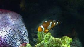 Υποβρύχιος κόσμος, πολλές πολύχρωμες κοραλλιογενείς ύφαλοι ψαριών Clownfish ή Anemonefish στοκ φωτογραφία με δικαίωμα ελεύθερης χρήσης