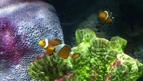 Υποβρύχιος κόσμος, πολλές πολύχρωμες κοραλλιογενείς ύφαλοι ψαριών Ψάρια κλόουν ή anemonefish στοκ εικόνα