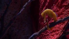 Υποβρύχιος κόσμος, πολλές πολύχρωμες κοραλλιογενείς ύφαλοι ψαριών seahorses στοκ φωτογραφία με δικαίωμα ελεύθερης χρήσης