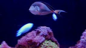 Υποβρύχιος κόσμος, πολλή κοραλλιογενής ύφαλος ψαριών Κυνόδοντας blenny στοκ φωτογραφίες