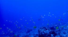 Υποβρύχιος σκόπελος με τα τροπικά ψάρια και καρχαρίας Hammerhead σε Dista στοκ εικόνες με δικαίωμα ελεύθερης χρήσης