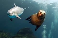 Υποβρύχιος στενός επάνω δελφινιών και λιονταριών θάλασσας Στοκ Φωτογραφίες