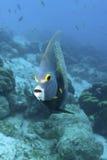 Υποβρύχιο γαλλικό Angelfish, Bonaire Στοκ φωτογραφία με δικαίωμα ελεύθερης χρήσης