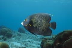 Υποβρύχιο γαλλικό Angelfish, Bonaire Στοκ Εικόνα