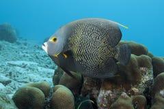 Υποβρύχιο γαλλικό Angelfish, Bonaire Στοκ φωτογραφίες με δικαίωμα ελεύθερης χρήσης
