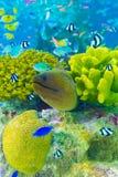 Υποβρύχιο ενυδρείο Β κοραλλιογενών υφάλων χελιών Moray Στοκ εικόνες με δικαίωμα ελεύθερης χρήσης