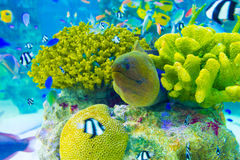Υποβρύχιο ενυδρείο Χ κοραλλιογενών υφάλων χελιών Moray Στοκ εικόνα με δικαίωμα ελεύθερης χρήσης