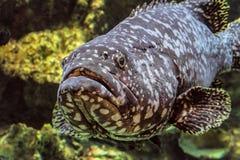 Υποβρύχιο θαλάσσιο grouper άγριας φύσης γιγαντιαίο πρόσωπο ψαριών Στοκ φωτογραφία με δικαίωμα ελεύθερης χρήσης