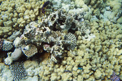 Υποβρύχιο κοράλλι Στοκ Εικόνα