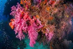 Υποβρύχιο μαλακό κοράλλι Similan, Ταϊλάνδη στοκ εικόνες με δικαίωμα ελεύθερης χρήσης