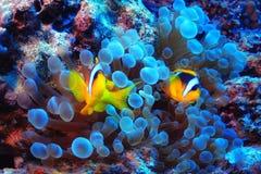 υποβρύχιο με ραβδώσεις volitans Ερυθρών Θαλασσών pterois φωτογραφιών ψαριών Στοκ φωτογραφία με δικαίωμα ελεύθερης χρήσης