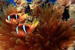 υποβρύχιο με ραβδώσεις volitans Ερυθρών Θαλασσών pterois φωτογραφιών ψαριών Στοκ φωτογραφίες με δικαίωμα ελεύθερης χρήσης