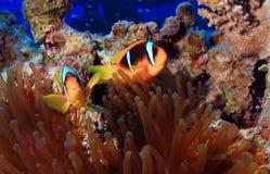 υποβρύχιο με ραβδώσεις volitans Ερυθρών Θαλασσών pterois φωτογραφιών ψαριών Στοκ Εικόνες