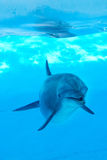Υποβρύχιο να φανεί δελφινιών τοποθέτηση Στοκ Φωτογραφίες