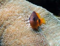 Υποβρύχιο τοπίο με τα ψάρια Anemone Στοκ φωτογραφίες με δικαίωμα ελεύθερης χρήσης