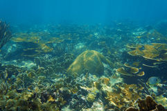 Υποβρύχιο τοπίο στην κοραλλιογενή ύφαλο της καραϊβικής θάλασσας Στοκ Εικόνα