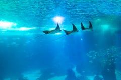 Υποβρύχιο υπόβαθρο Manta στοκ εικόνες