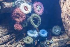 Υποβρύχιο χρωματισμένο anemone στο ενυδρείο Στοκ Φωτογραφία