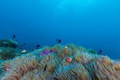 Υποβρύχιο Scape του anemone θάλασσας και της κοραλλιογενούς υφάλου Στοκ φωτογραφία με δικαίωμα ελεύθερης χρήσης