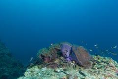 Υποβρύχιο Scape του anemone θάλασσας και της κοραλλιογενούς υφάλου Στοκ Εικόνες