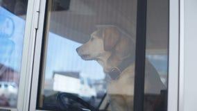 Υπομονετική συνεδρίαση σκυλιών στη θέση του οδηγού στο ρυμουλκό που φρουρεί τον τουρισμό ιδιοκτησίας με το κατοικίδιο ζώο φιλμ μικρού μήκους