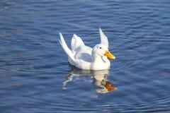 Υποσιτιζόμενη πάπια με τα φτερά αγγέλου Στοκ φωτογραφία με δικαίωμα ελεύθερης χρήσης