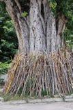 Υποστήριξη πόλων δέντρων Bodhi Στοκ Φωτογραφίες