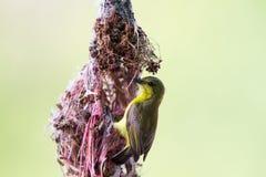 υποστηριγμένη ελιά sunbird Στοκ εικόνες με δικαίωμα ελεύθερης χρήσης