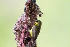 υποστηριγμένη ελιά sunbird Στοκ φωτογραφία με δικαίωμα ελεύθερης χρήσης
