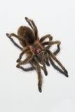 Υποστηριγμένο ροζ tarantula Στοκ Εικόνες