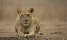 Υπο--ενήλικο αρσενικό λιοντάρι (leo Panthera) Στοκ Φωτογραφία