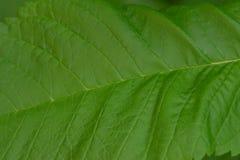 Υπόβαθρα 032 - ενιαίο πράσινο φύλλο Στοκ Εικόνες