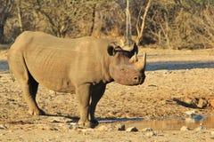 Υπόβαθρο άγριας φύσης - διακυβευμένος αφρικανικός μαύρος ρινόκερος Στοκ Φωτογραφία