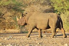 Υπόβαθρο άγριας φύσης - διακυβευμένος αφρικανικός μαύρος ρινόκερος - στάση Στοκ Εικόνα