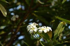 Υπόβαθρο άνοιξη με τα όμορφα κίτρινα λουλούδια πράσινο hispanica λ genista λουλουδιών ανασκόπησης κίτρινο Στοκ Φωτογραφίες