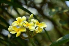 Υπόβαθρο άνοιξη με τα όμορφα κίτρινα λουλούδια πράσινο hispanica λ genista λουλουδιών ανασκόπησης κίτρινο Στοκ Εικόνα