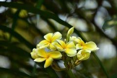 Υπόβαθρο άνοιξη με τα όμορφα κίτρινα λουλούδια πράσινο hispanica λ genista λουλουδιών ανασκόπησης κίτρινο Στοκ Φωτογραφία
