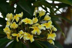 Υπόβαθρο άνοιξη με τα όμορφα κίτρινα λουλούδια πράσινο hispanica λ genista λουλουδιών ανασκόπησης κίτρινο Στοκ εικόνα με δικαίωμα ελεύθερης χρήσης