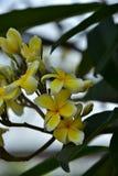 Υπόβαθρο άνοιξη με τα όμορφα κίτρινα λουλούδια πράσινο hispanica λ genista λουλουδιών ανασκόπησης κίτρινο Στοκ φωτογραφία με δικαίωμα ελεύθερης χρήσης