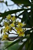 Υπόβαθρο άνοιξη με τα όμορφα κίτρινα λουλούδια πράσινο hispanica λ genista λουλουδιών ανασκόπησης κίτρινο Στοκ Εικόνες