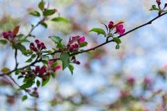 Υπόβαθρο άνοιξη με τον ανθίζοντας κλάδο δέντρων μηλιάς Στοκ εικόνα με δικαίωμα ελεύθερης χρήσης